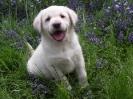 Labrador Welpen 01082015_1