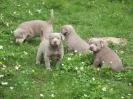 Labrador Welpen_19