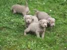 Labrador Welpen_1