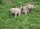 Labrador Welpen_2
