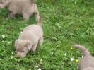 Labrador Welpen_5