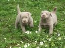 Labrador Welpen_6