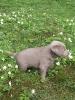 Labrador Welpen_8