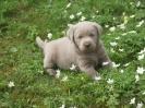 Labrador Welpen_9